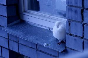 К чему прилетает голубь